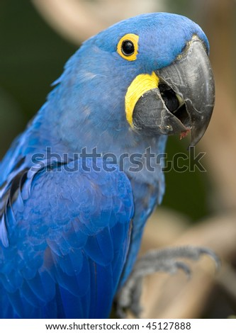 magnificent hyacinth macaw half length close up found in brazilian pantanal, south america - stock photo