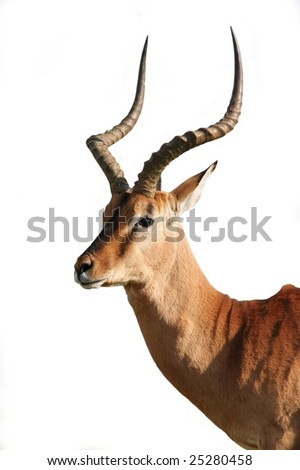 Magnificent Impala Antelope Ram isolated on white background
