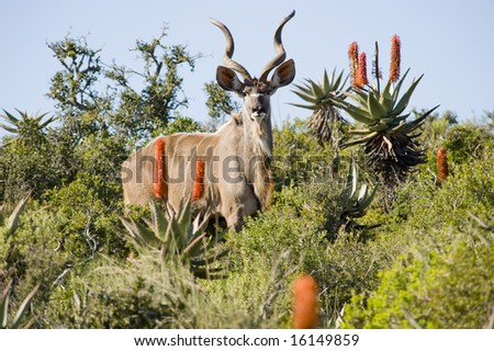 Magnificent Kudu bull with curling horns, standing between some bushes, looking at the camera. - stock photo