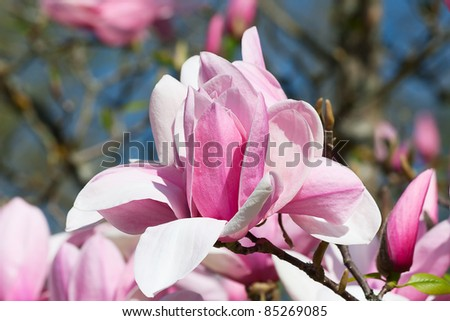 Magnificent magnolia flowers in the spring garden - stock photo
