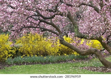 Magnificent Magnolia Tree in Spring Horizontal - stock photo