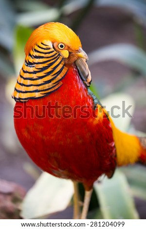 Magnificent male golden pheasant bird with beautiful feathers