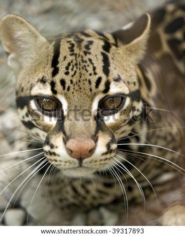 magnificent ocelot or Leopardus pardalis , guanacaste, costa rica, big cat - stock photo