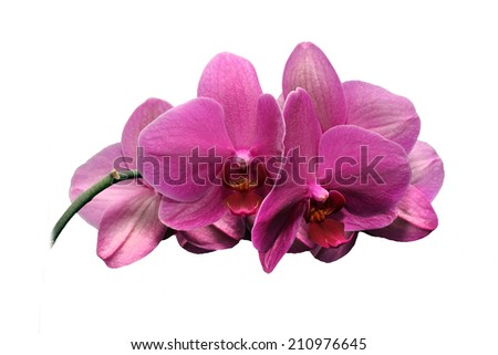 magnificent orchid pink on a white background