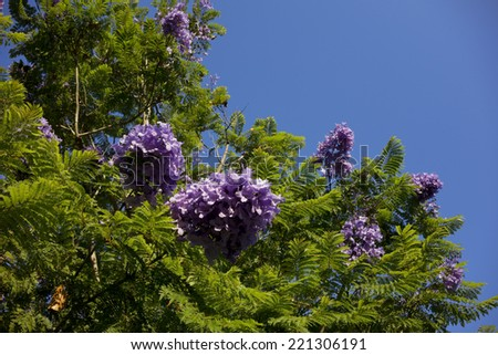 Magnificent purple-blue Jacaranda tree flowers and seed pods; Copyspace - stock photo