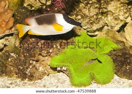 Magnificent Rabbitfish or Foxface (Siganus magnificus) - stock photo
