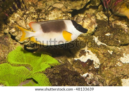 Magnificent Rabbitfish or Foxface (Siganus magnificus) in Aquarium - stock photo