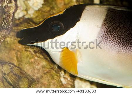 Magnificent Rabbitfish or Foxface (Siganus magnificus) Portrait in Aquarium - stock photo