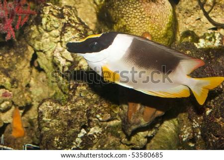 Magnificent Rabbitfish ( Siganus magnificus) in Aquarium - stock photo