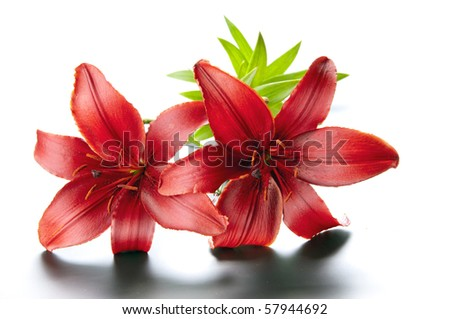 Magnificent red lily - stock photo