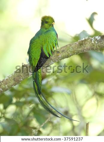 magnificent resplendent quetzal , cera de la morte, costa rica - stock photo