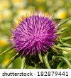 Magnificent rosette of milk thistle flower in full splendor showing its purple stamens  - stock photo
