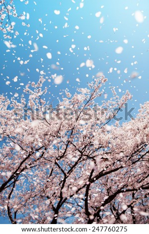 Magnificent  scene of cherry blossoms flower petals floating and blown in a spring breeze. Focus is the floating petals and not the tree. - stock photo