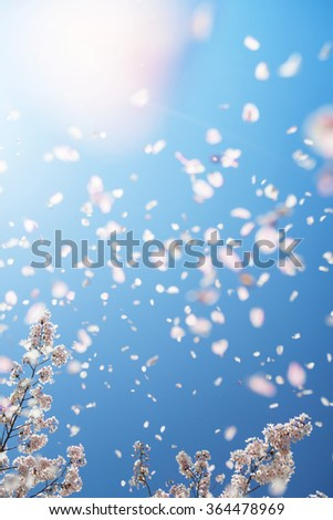 Magnificent scene of cherry blossoms flower petals floating and blown in a spring breeze with sunlight.  Focus is the below cherry tree branches. Shallow depth of field and intentional motion blur.. - stock photo
