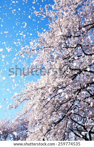 Magnificent scene of cherry blossoms flower petals floating and falling in a spring breeze. Focus is intentionally on the floating petals and not the tree. - stock photo