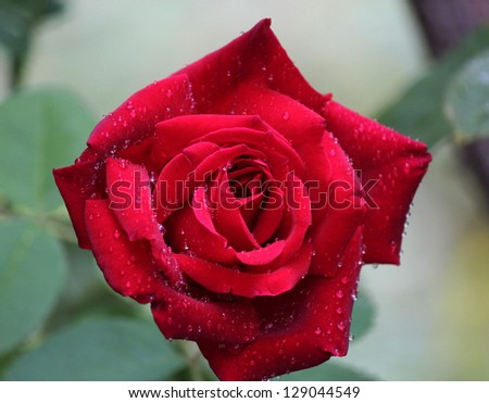 Magnificent  scented red bloom of  exhibition rose Climbing Chrysler Imperial on a fine spring day. - stock photo