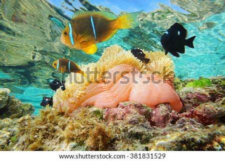 Magnificent sea anemone with tropical fish orange-fin anemonefish and three-spot dascyllus, underwater in the lagoon of Huahine, Pacific ocean, French Polynesia - stock photo