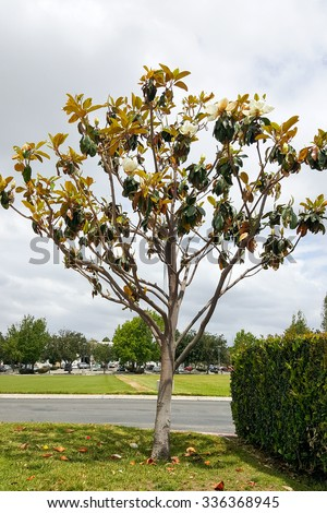 Magnificent Southern California magnolia tree with open white flowers on overcast day - stock photo