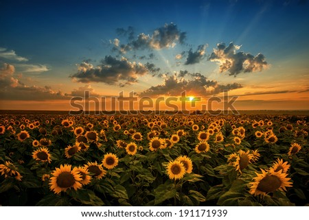 Magnificent sunset over a sunflower field - stock photo