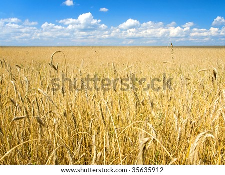 Magnificent view of a wheat field on the blue sky and fluffy clouds background