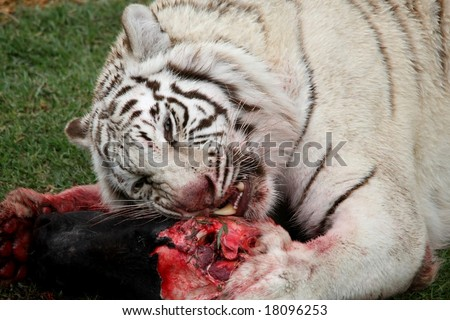 Magnificent white tiger with teeth showing eating raw meat - stock photo