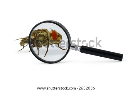 magnified fly insect isolated on white - stock photo