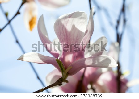 Magnolia - beautiful flowers in a spring day