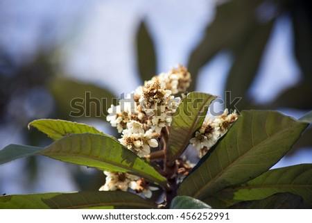 Magnolia bloom - stock photo