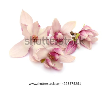 Magnolia blooms - stock photo