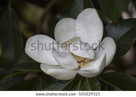 Magnolia Blossom in Brunswick Forest, Leland, NC