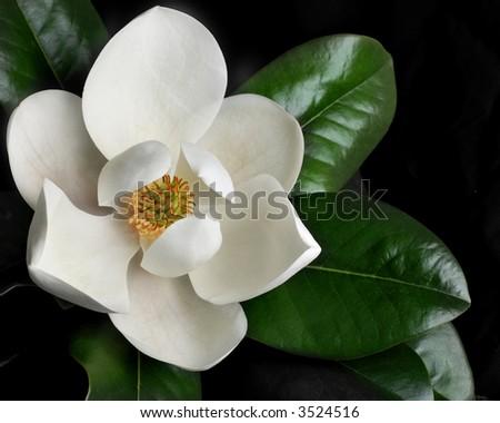 magnolia blossom on black background - stock photo