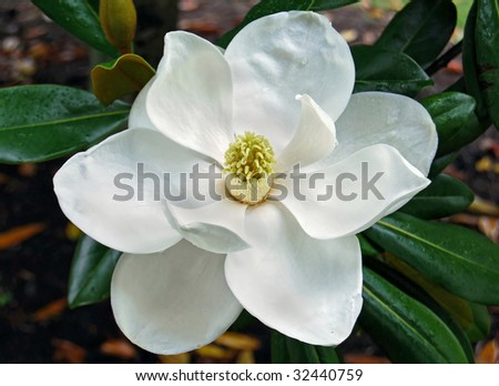 magnolia blossom with dewdrops - stock photo