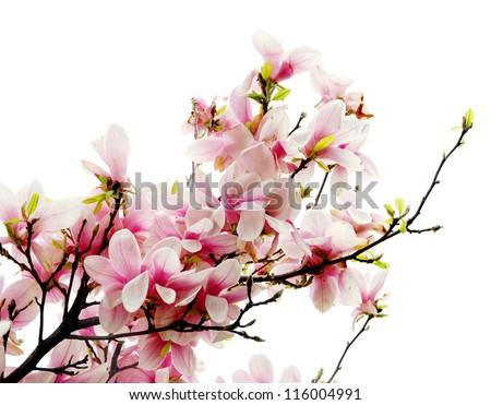 Magnolia blossoms - stock photo