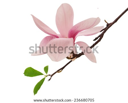 Magnolia blossoms isolated white background