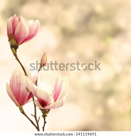 magnolia decoration  - stock photo