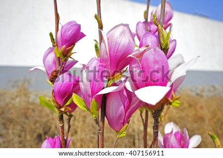 Magnolia flower blooming  - stock photo