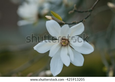 Magnolia flower blossom white bloom in spring garden on blurred background - stock photo
