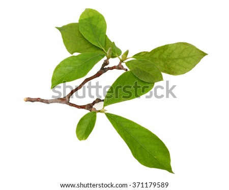 magnolia flower branch isolated on white  - stock photo