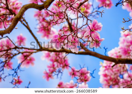 Magnolia Flower In Spring - stock photo