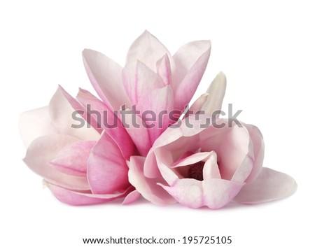 magnolia flower isolated on white  - stock photo
