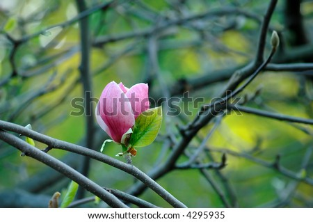 Magnolia flower on a branch - stock photo