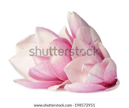 magnolia flower on white background