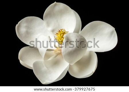 Magnolia Flower White Magnolias Floral Flowers - stock photo