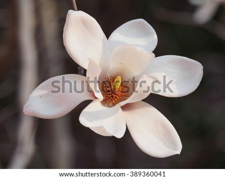 Magnolia flowers. Blooming magnolia tree in the spring, soft nature background