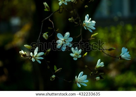 Magnolia flowers blossom white bloom in spring garden on blurred background - stock photo