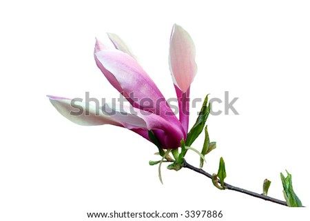 Magnolia flowers in evening time isolated