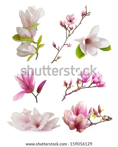 magnolia flowers isolated on white  - stock photo