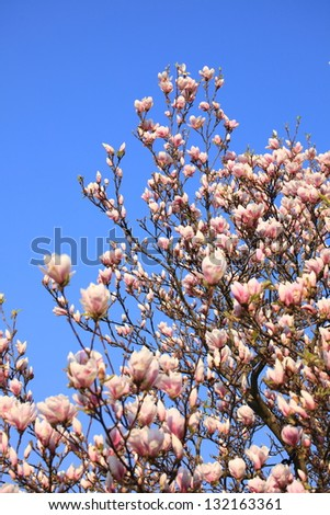 magnolia flowers on clear blue sky - stock photo