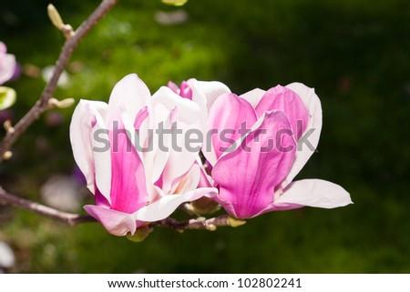 Magnolia Large Genus About 210 Flowering Stock Photo 102802241 ...