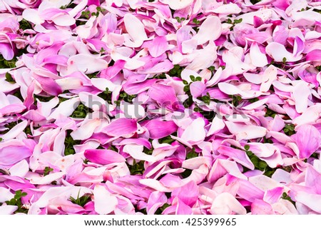 Magnolia petals when it has already bloomed after a few days. This is Magnolia sou-lan-Gea-na.The color is in pink shade to purple. - stock photo